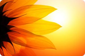SummerSolstice,sunflower